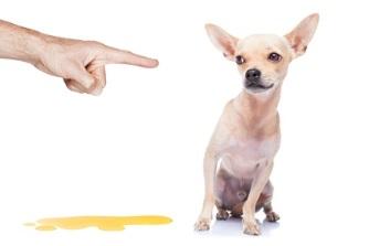incontinence urinaire du chien blog senup votre partenaire pour une vie plus simple. Black Bedroom Furniture Sets. Home Design Ideas